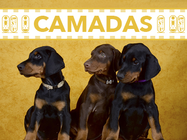 camadas doberman dashlut