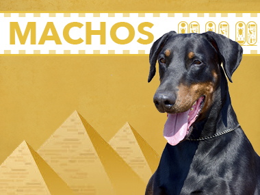 machos doberman dashlut