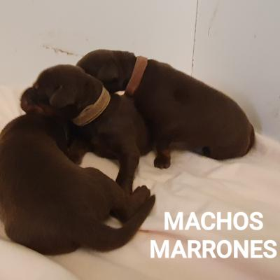 Machos Marrones