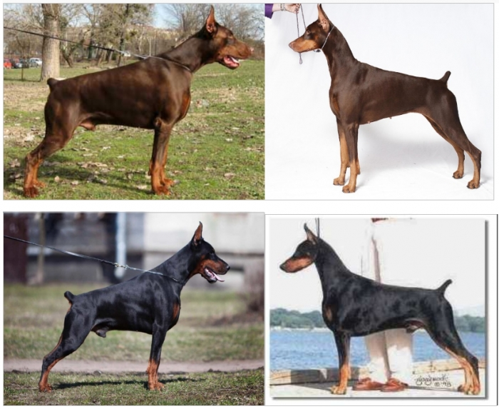 DOBERMANN EUROPEO VS DOBERMANN AMERICANO